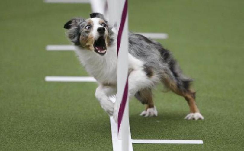 dog-show-agility-1