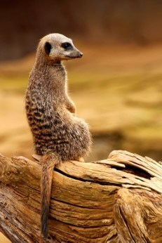 meerkat on watch Paul Huson