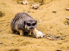 hungry meerkat, fran