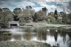 Suffolk Swans (Karen M)