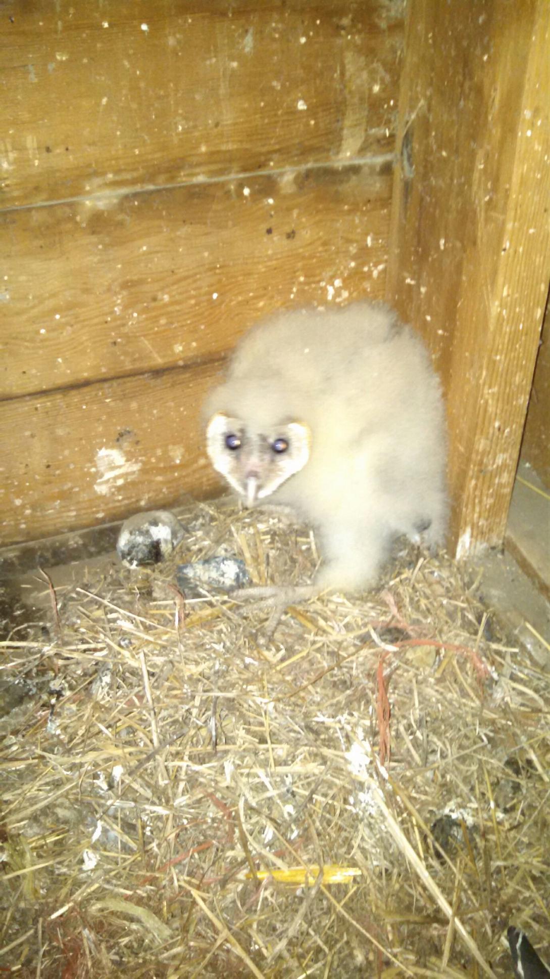 Baby Barn Owls Everywhere  Badger RunBadger Run