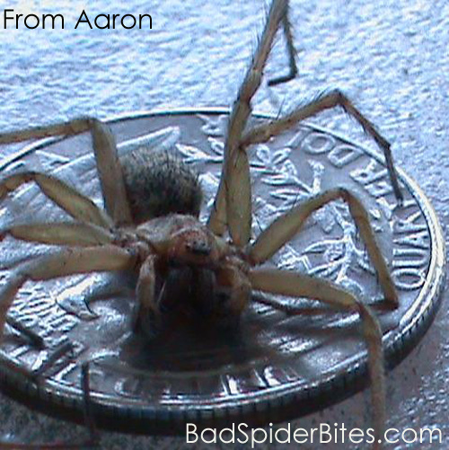 Hobo Spider Size
