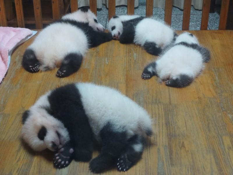 Baby pandas
