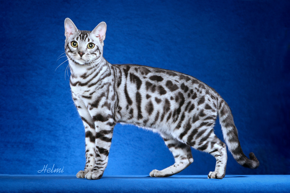 Bengal Cats Everywhere Need Your Help - Bagheera the Diabetic Cat