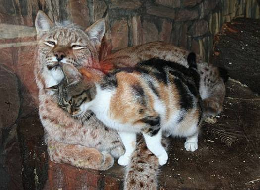 A Happy Cat Story Between a Lynx and a Calico