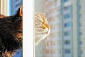 Curious Cat at Risk of High Rise Syndrome