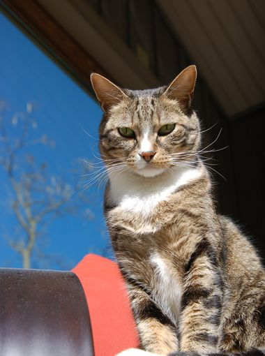 Former Feral Cat Joey at KTHV