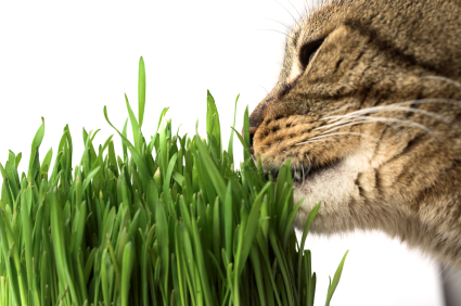 Does Eating Grass Affect a Diabetic Cat's Blood Sugar Level?