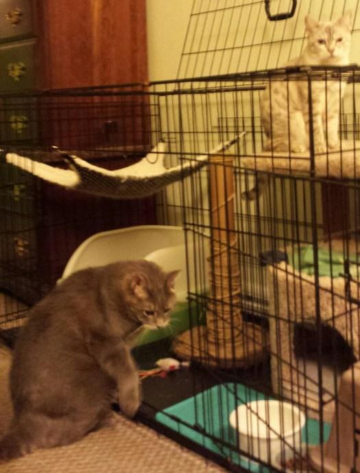 Bagheera the Diabetic Cat in Marley's Crate