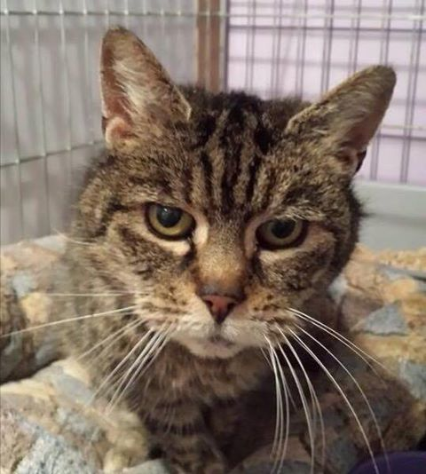 Help Cat Rescue Group Rugeley Cats Society Find Tabby a Home