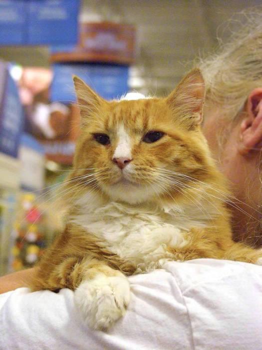Diabetic Cat Garfield Needs a Home