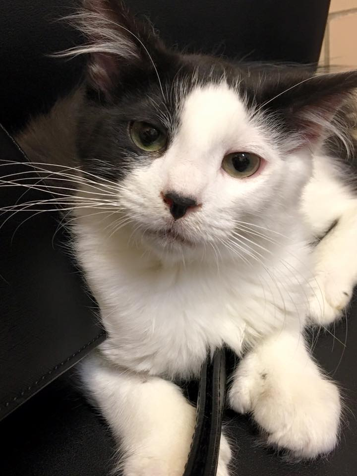Polydactyl Cat Ashton Is Available from Michigan Cat Rescue