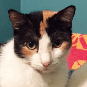 Diabetic Cat Marlena Needs a Home