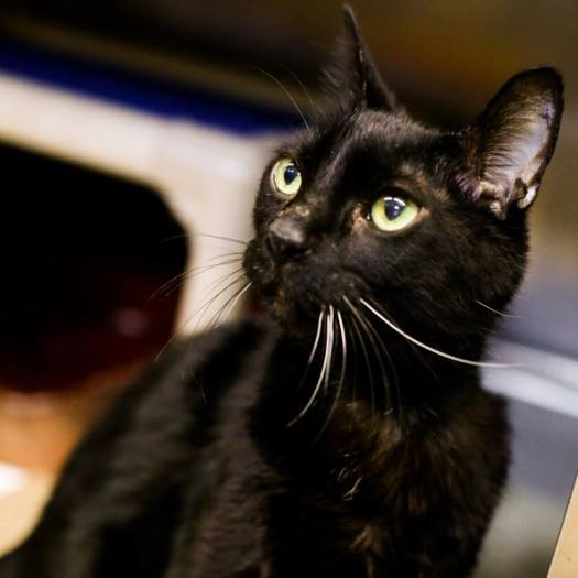 Diabetic Cat Quinn Quantum Is Looking for a Home