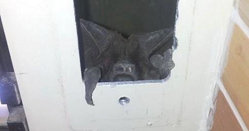 pipistrello-2
