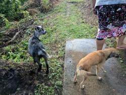 La seule chèvre qui restait à une famille après la tempête ; ils l'ont appelée Maria, après l'ouragan