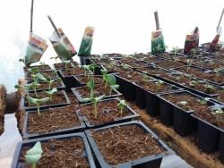 La communauté a cultivé de nombreux types de plantes dans les serres : bok choy, citrouilles, haricots, carottes, choux, laitues, pastèques, gombos, tomates, ciboulette et persil.