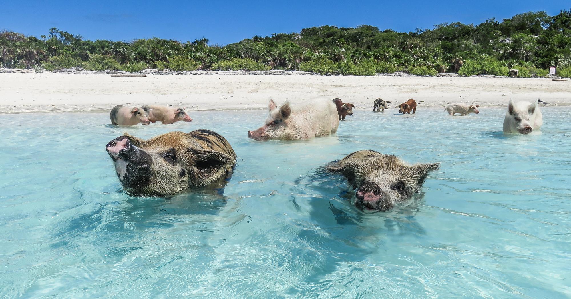 Staniel Cay Pig Tour