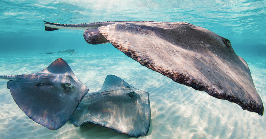Visit the Stingrays at Green Turtle Cay in the Bahamas by take a private air charter flights to Bahamas with Bahamas Air Tours. Day trip from FLorida to Bahamas and fly to to Treasure Cay and Green turtle cay to visit Stingrays and go swimming with pigs bahamas on the pig island bahamas tours.