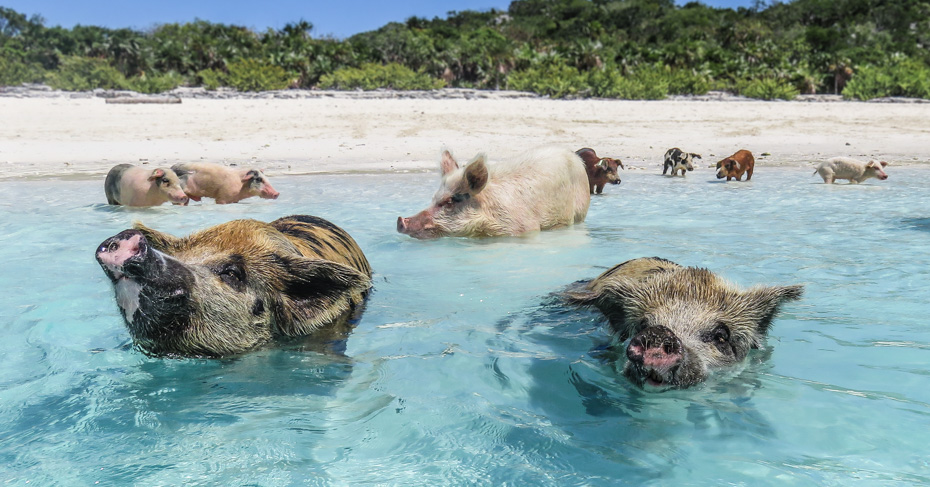The Exuma Pigs are swimming pigs found in Staniel Cay in the Exumas on the out island bahamas. The staniel cay pigs will swim out to your boat to visit you. You can also go swimming with these swimming pigs. Fly to pig island with Bahamas Air Tours on their Florida to Bahamas day trips to Staniel Cay Bahamas.