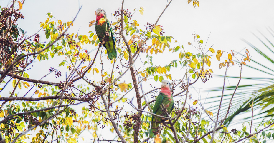 Spot the Abaco Parrot on a Nature Bahamas Tour with Bahamas Air Tours to the Abacos Islands and Great Abaco.