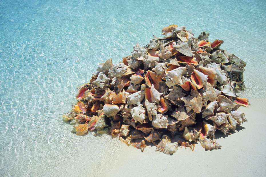 A pile of Bahamas conch shells sit on the white sand beach of Great Exuma Island, the Bahamas. The locals eat the conch in salads.