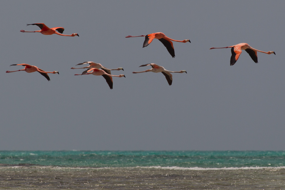 Bahamas Flamingos at Blackwood Point, Pirates Well, Mayaguana. Discover the beauty of the Bahamas Wildlife on a Bahamas Air Tour, day trips and excursions by plane.