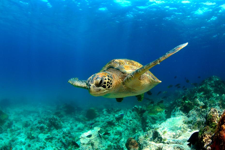 Treasure cay Abaco Bahamas Green sea turtle swimming underwater in lagoon