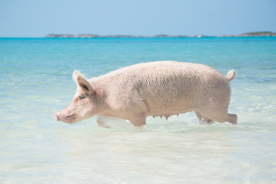 Bahamas Air tours day trip to Bahamas pigs and Pig Island is one of the most popular day tour on offer to Big Major Cay as a Pig Beach excursion from Nassau