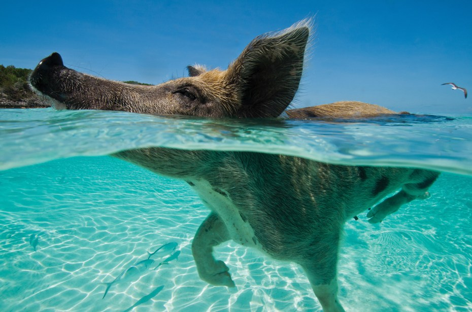 Discover Pig Beach Bahamas on a Bahamas Day Tour