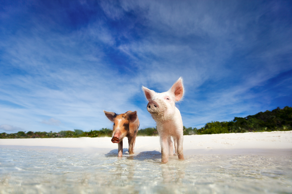 Swimming pigs of the Bahamas in the Out Islands of the Exuma. Come see the Bahamas Pigs in the Ocean. Exuma Pig Beach Island with Pigs is one of the most popular Bahamas vacation spots. So come check out the Exuma Pigs at Swimming Pigs Beach today!