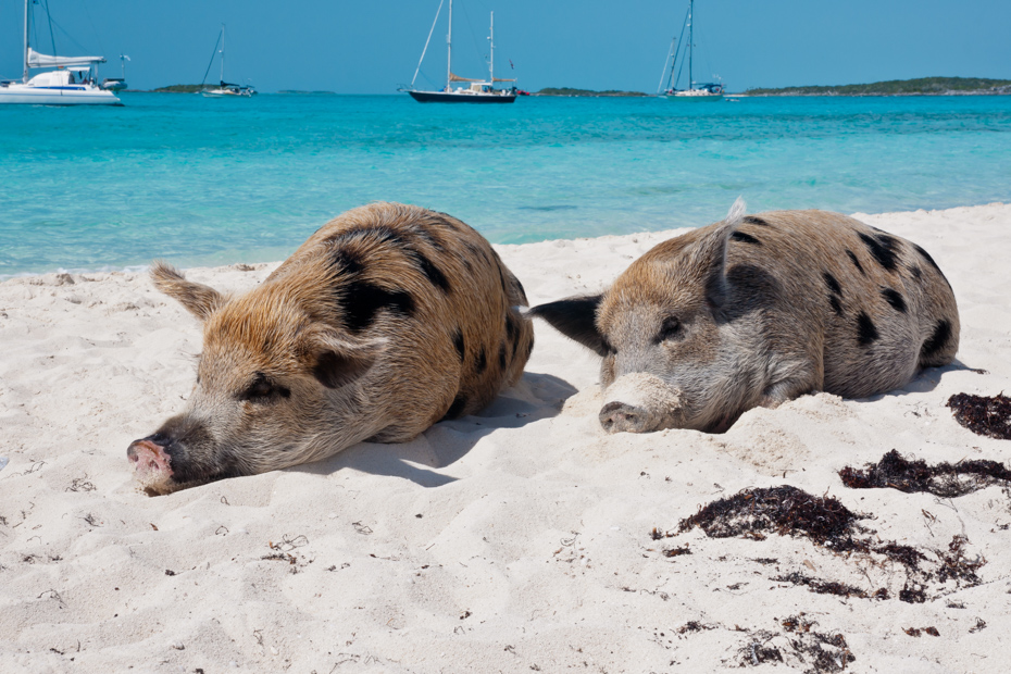 How to get to Pig Island and visit Wild pigs on Big Major Cay and Pig Beach on a Bahamas Day Tour