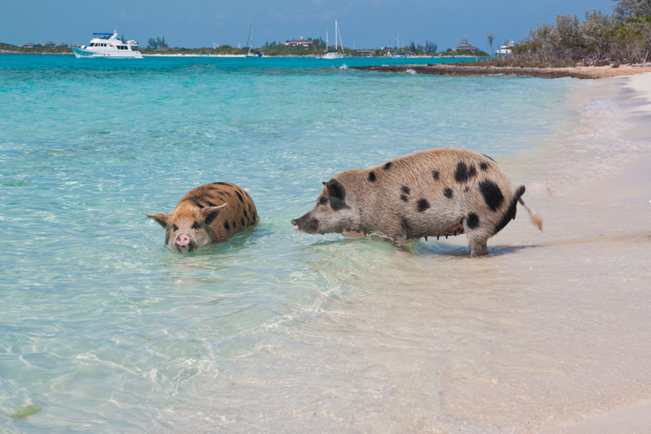 Wild pigs on Big Majors Island in The Bahamas. How to get to Pig Island with Pigs on a Miami to Bahamas Swimming Pigs Beach Bahamas Day Trip to Big Major Cay with Swimming Pigs Exumas on Swimming Pig Island