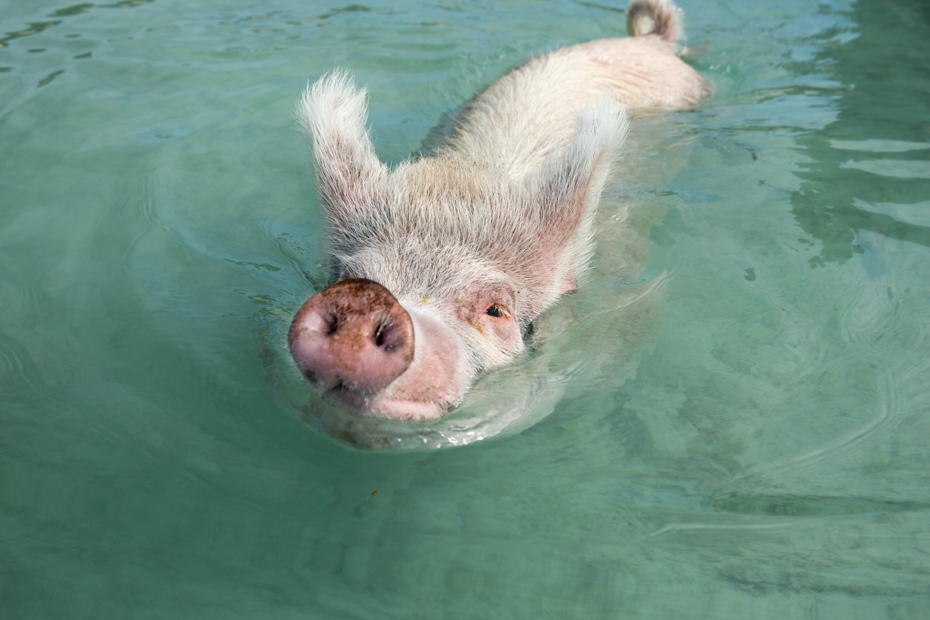 How to get to Pig Island with Pigs on a Miami to Bahamas Swimming Pigs Beach Bahamas Day Trip to Big Major Cay