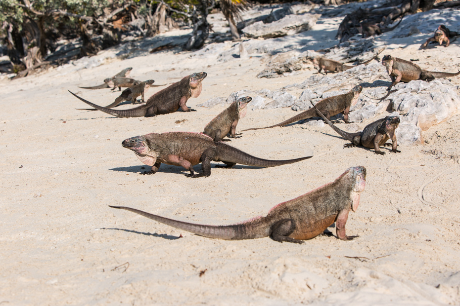 Endangered species of iguana live only on Exuma island, Bahamas. One day cruise to Bahamas from Miami is a great Florida attraction. Day Trips from Miami are very common. Miami day trips to the Bahamas and Day cruise Miami to Bahamas Air Tours are the perfect way. Take day cruises from Miami or a trip from Miami to Bahamas.