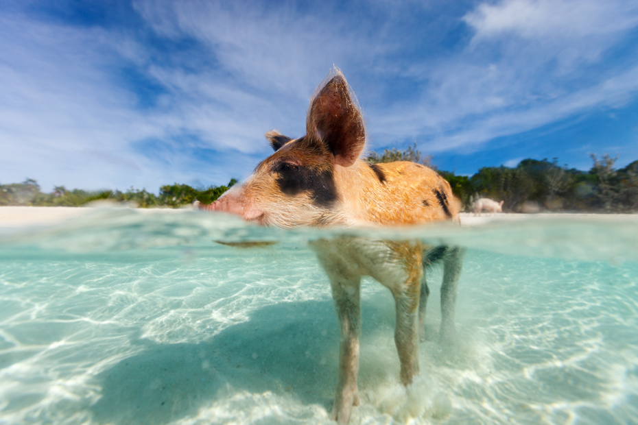 Little piglet in a water at beach on Exuma Bahamas. Have a list of the best Atlantis Paradise Island Hotels and Paradise Island Resort. Paradise Island Bahamas Hotels are world-renown and a popular attraction around the Atlantis Hotel Bahamas crowd. Bahamas Air Tours gives you your guide to Day Trips to Bahamas by flights to Bahamas aboard Bahamas Air Charters to Swimming Pigs tours and the Exuma pigs on Pig Island at Pig Beach. Join one of our Staniel Cay Day trips on our Nassau to Staniel Cay day tour or opt for the Staniel Cay Day trips by the way of Bahamas Day Trips by plane. Trips to Bahamas to see pigs in Bahamas. Miami to Bahamas day trip is one of the top Florida attractions.