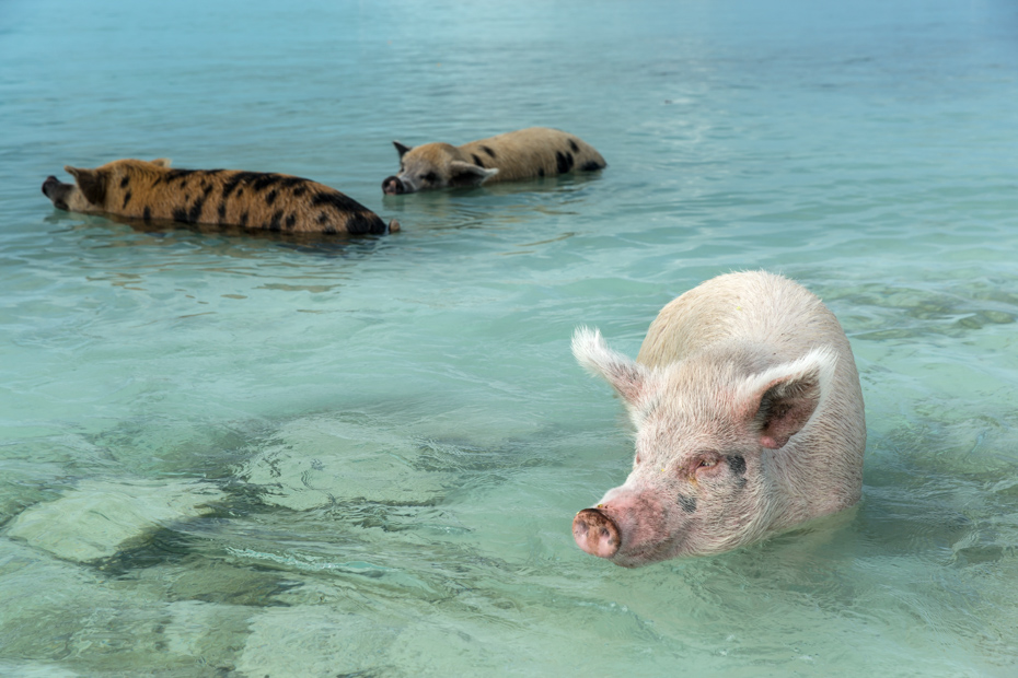 The only swimming pigs live on the beach of tropical island of Bahamas; swim in a sea waters and beg food from tourists. Check out all of the things to do in Nassau including some of the best beaches in Nassau like Cable Beach and a stay in a luxurious Cable Beach Resort all along Cable Beach Nassau. Bahamas Air Tours gives you your guide to Day Trips to Bahamas by flights to Bahamas aboard Bahamas Air Charters to Swimming Pigs tours and the Exuma pigs on Pig Island at Pig Beach. Join one of our Staniel Cay Day trips on our Nassau to Staniel Cay day tour or opt for the Staniel Cay Day trips by the way of Bahamas Day Trips by plane. Trips to Bahamas to see pigs in Bahamas. Miami to Bahamas day trip is one of the top Florida attractions.