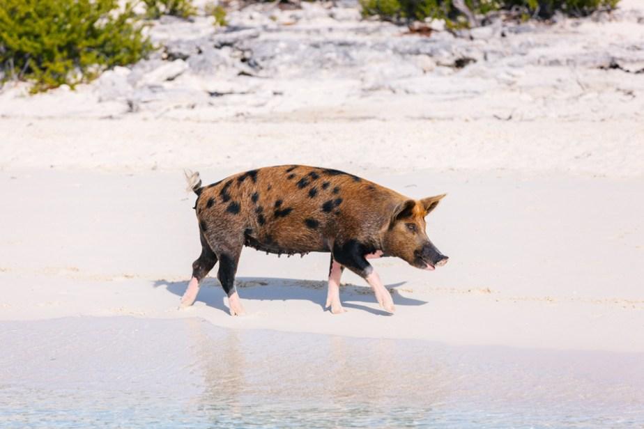 Pig Island Bahamas: Home to the Swimming Bahamas Pigs!
