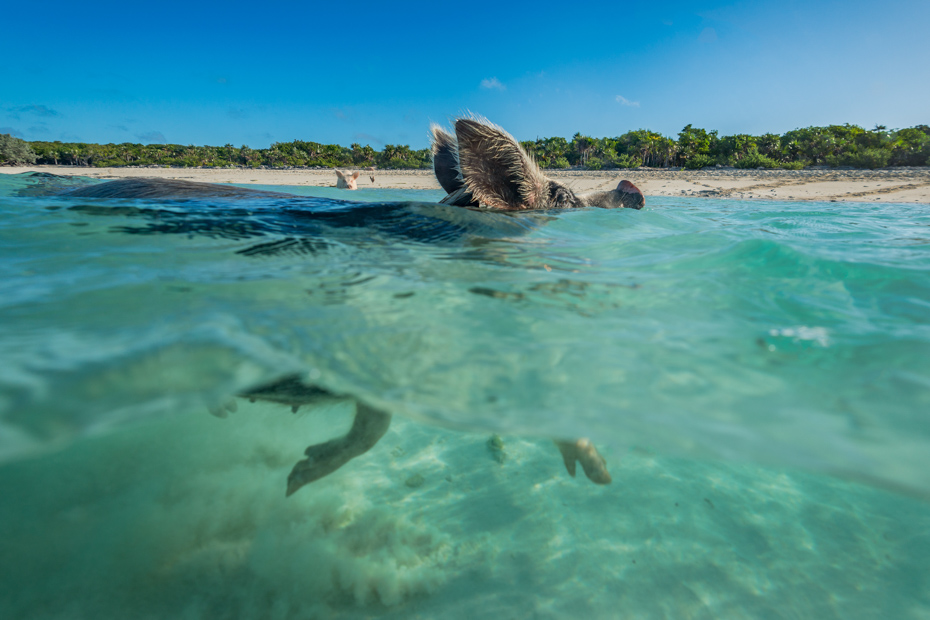 Nassau Shore Excursions Swimming Pigs are the best excursions in Nassau from your Cruise to the Exuma Pigs at Staniel Cay