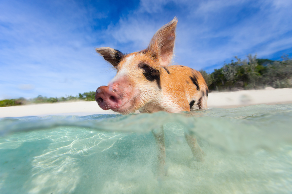 Nassau Shore Excursions: Why You Must visit the Swimming Pigs