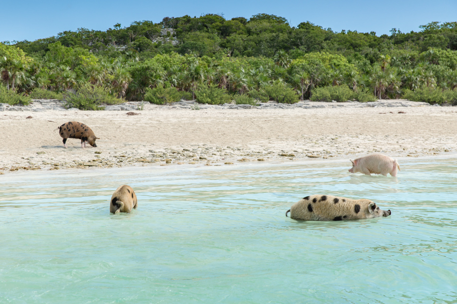 Pig Island Bahamas Tour to Staniel Cay on a Bahamas Day trip to the famous Pig Beach and the Swimming Pigs of Exuma