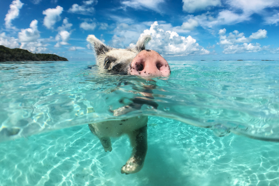 How to visit the Swimming Pigs Bahamas