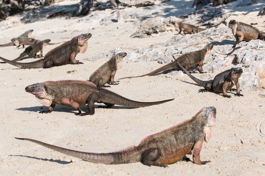 The Bahamian Rock Iguanas are an endangered species of Iguanas found in the Exuma islands.