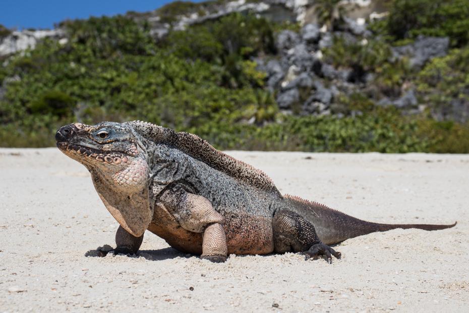 A Bahamian Rock Iguana on the beach at Bitter Guana Cay in the Bahamas Exuma islands.