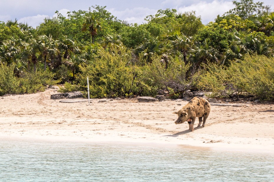Pig Beach island is also known as Big Major Cay - Bahamas