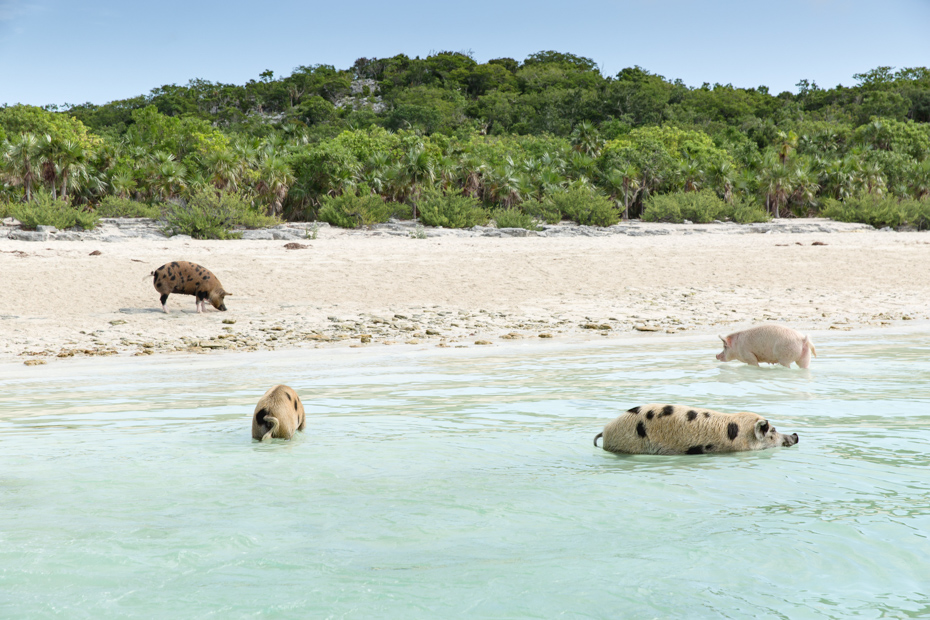Check out the Bahamas pigs on your Pig Island tours. Big Major Cay, Pig Island Exuma, is the best place. Check out Exuma pigs on Pig Island at Pig Beach with Bahamas Air Tours.