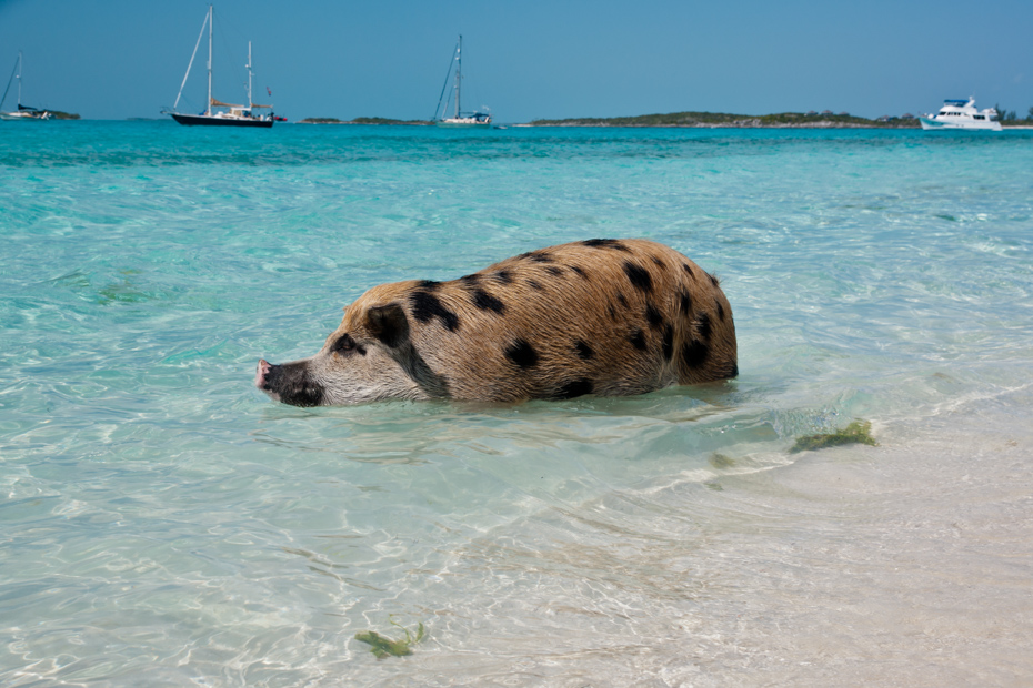 Take a dip with Exuma pigs on tours to Pig Beach. Your Bahamas pigs tour comes all-inclusive with knowledgable guides as pilots.