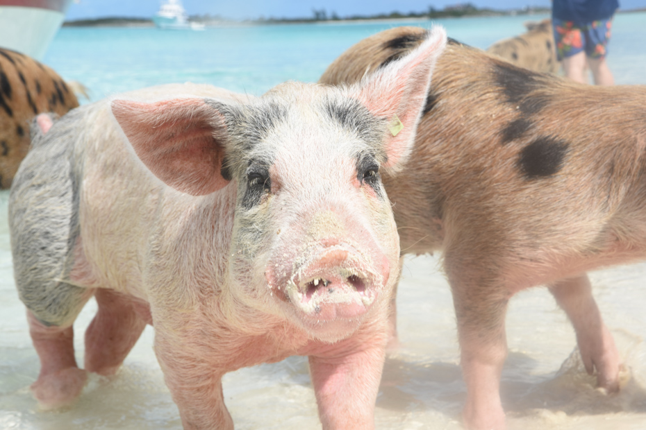 These pink Exuma pigs are as cute as they are plentiful on Big Major Cay. Take a Pig Island Tour to go swimming with pigs in the Bahamas.
