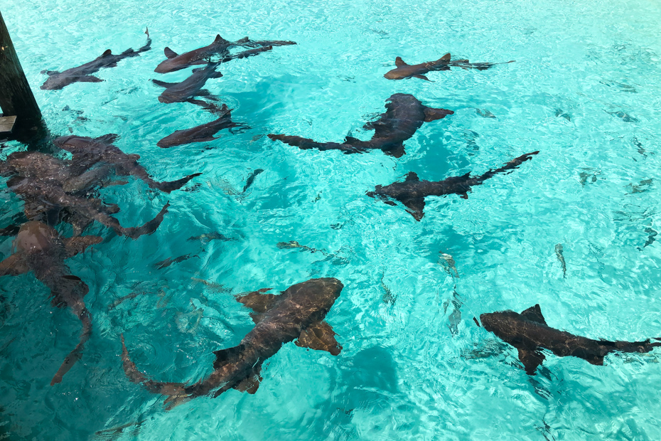 Go swimming with sharks on a Staniel Cay Bahamas day tour. These reef sharks are harmless.