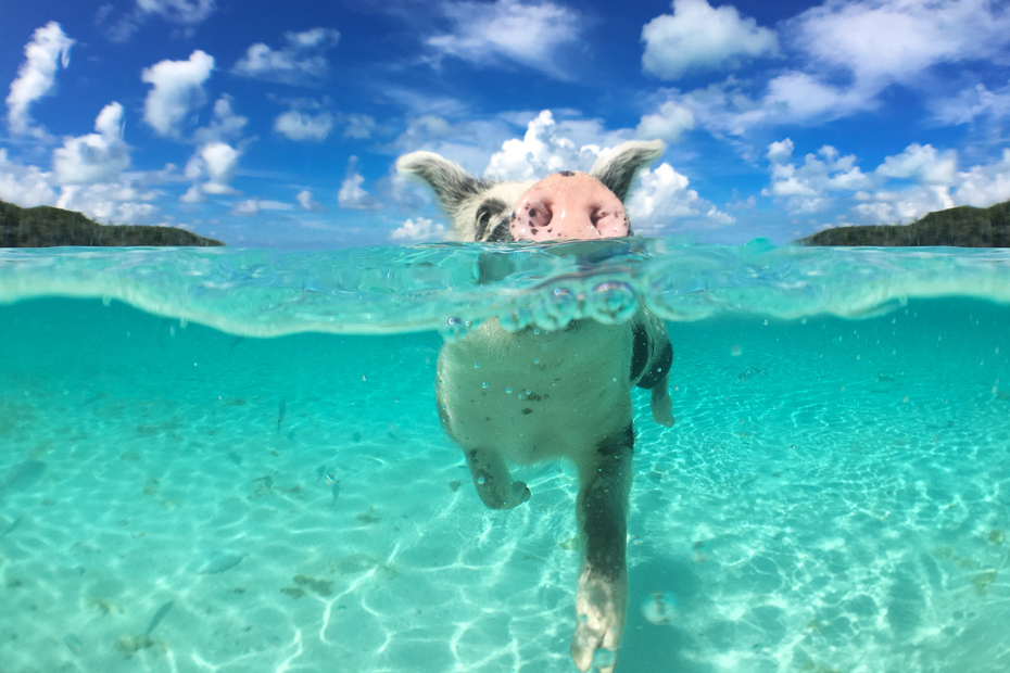 What to Know Before Your Swimming Pigs Tour